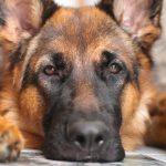 Perché i cani hanno il naso umido