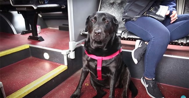 Eclipse-the-dog-that-takes-the-bus-alone-to-go-play_1