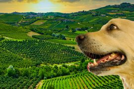Cammino-nelle-langhe-con-un-cane-dal-Barbera-al-barolo