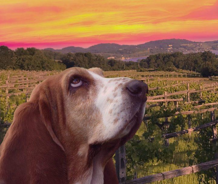 Tra-le-vigne-al-Tramonto-da-Piverone-a-Viverone-sulla-Via-Francigena